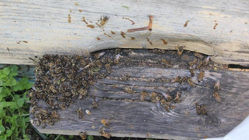 Arıcılar isyan etti: Arı olmazsa hayat da olmaz