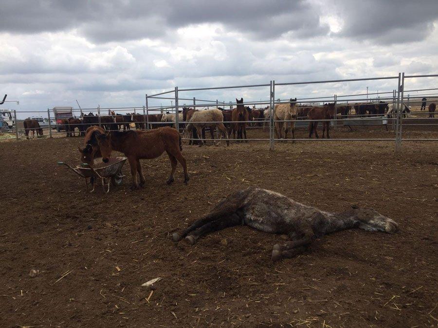 Bölgedeki yılkı atlarından birçoğunun öldüğü birçoğunun da açlık ve susuzluk tehlikesi ile karşı karşıya kaldığı ortaya çıktı.