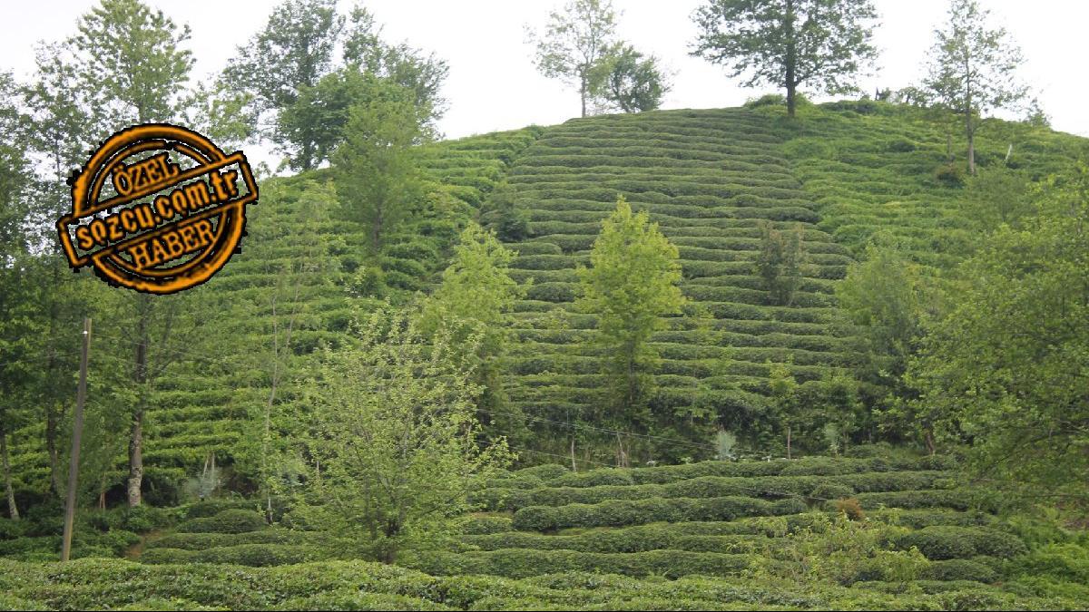 Çay işçilerinin günlük yevmiyeleri arttı