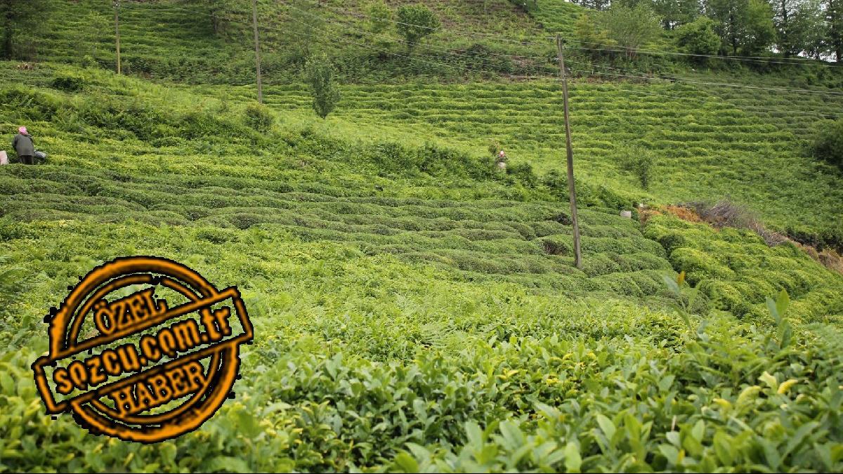 Çay fiyatları neden düştü? Fiyatlar yükselecek mi?
