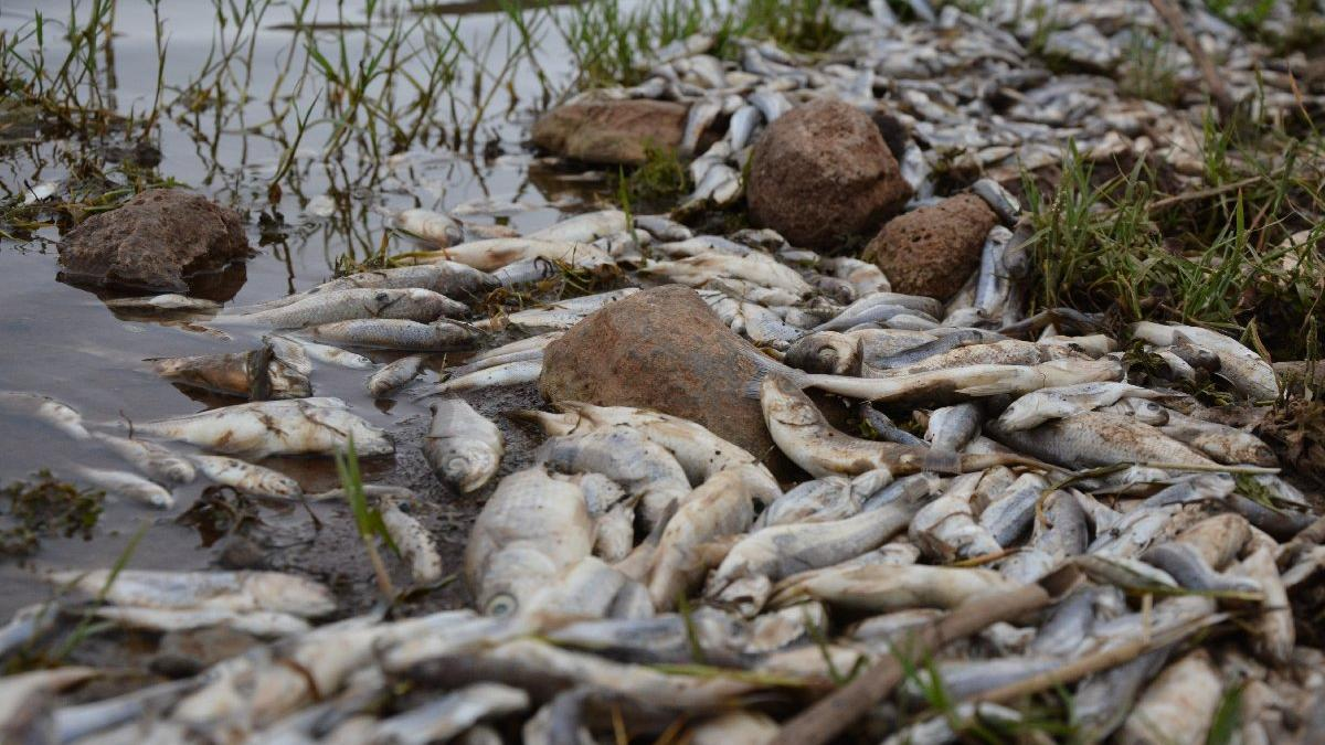 Şanlıurfa'da toplu balık ölümleri korkuttu