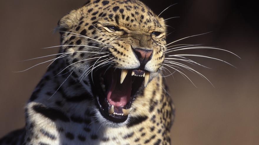 Leopar 3 yaşındaki çocuğu parktan kaçırıp yedi
