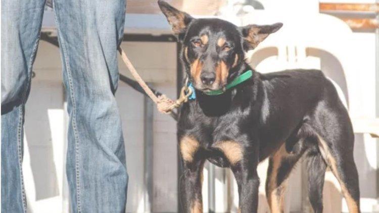 Çoban köpeği 17 bin dolara satıldı