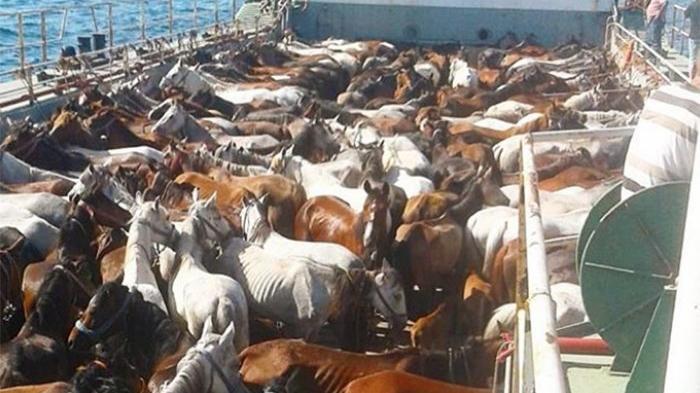 Fayton keyfi için atlara yapılan zulüm sürüyor! Sanatçılardan yetkililere çağrı…