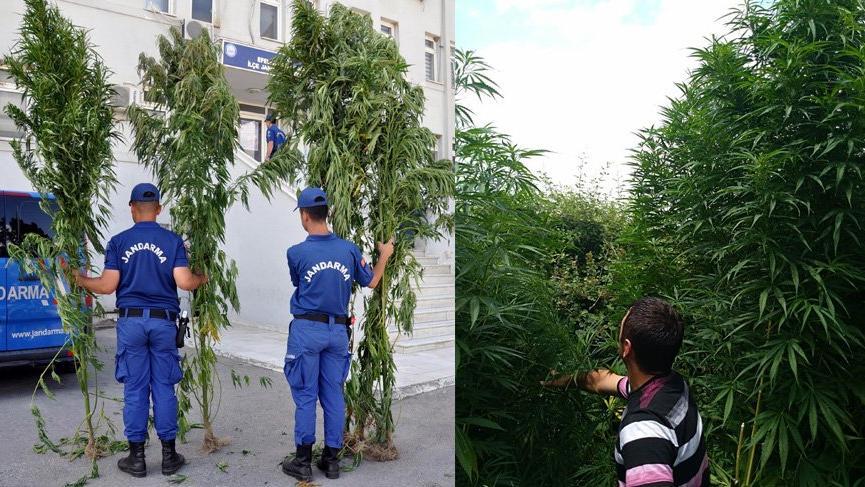 Evin bahçesinde 4 metrelik Hint keneviri yetiştirmiş