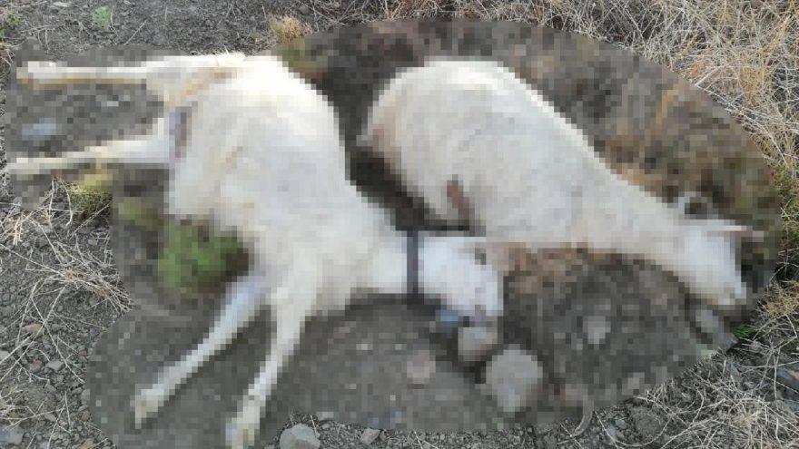 Tek tek 24 keçiyi öldürdü