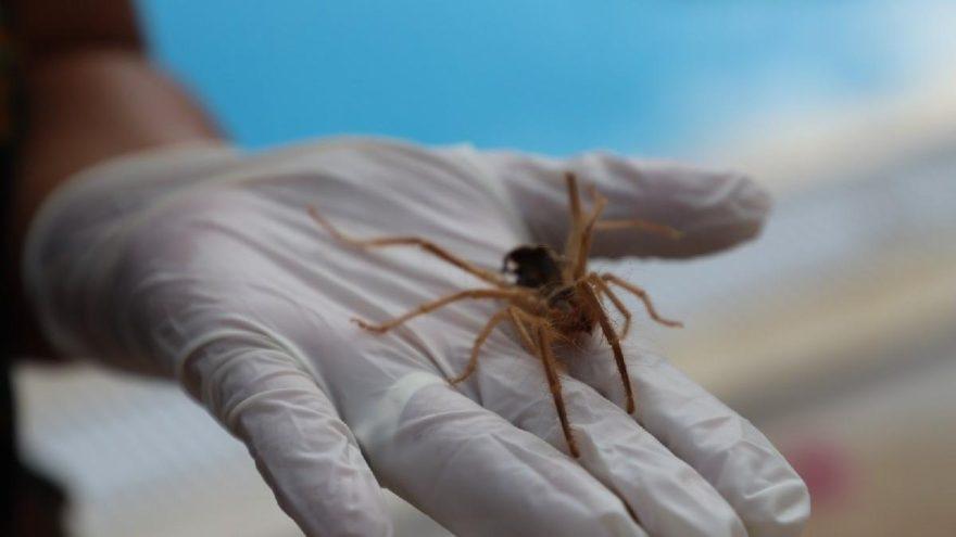Bodrum'da 'Sarı Kız' böceği tedirginliği