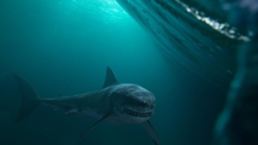 İspanya açıklarında 30 yıl sonra ilk kez büyük beyaz köpek balığı görüldü!