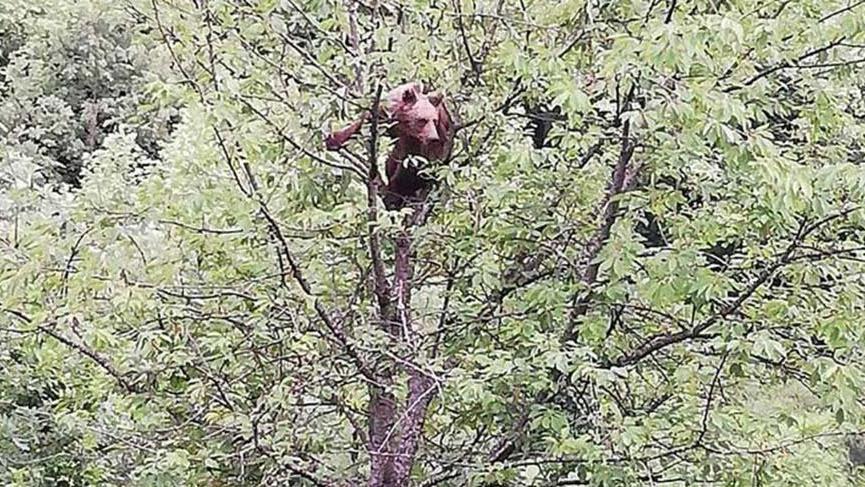 Kiraz ağacına çıkan ayı görüntülendi