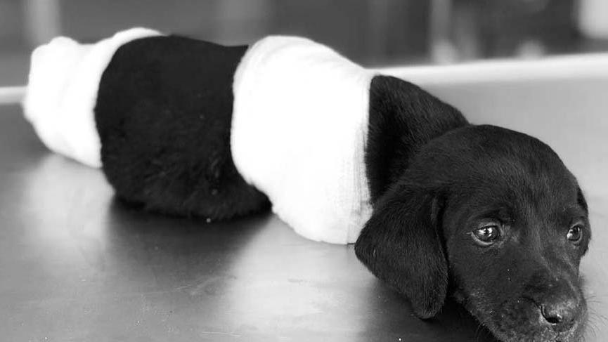 Patileri kesilen yavru köpekle ilgili Sakarya'da 1 gözaltı