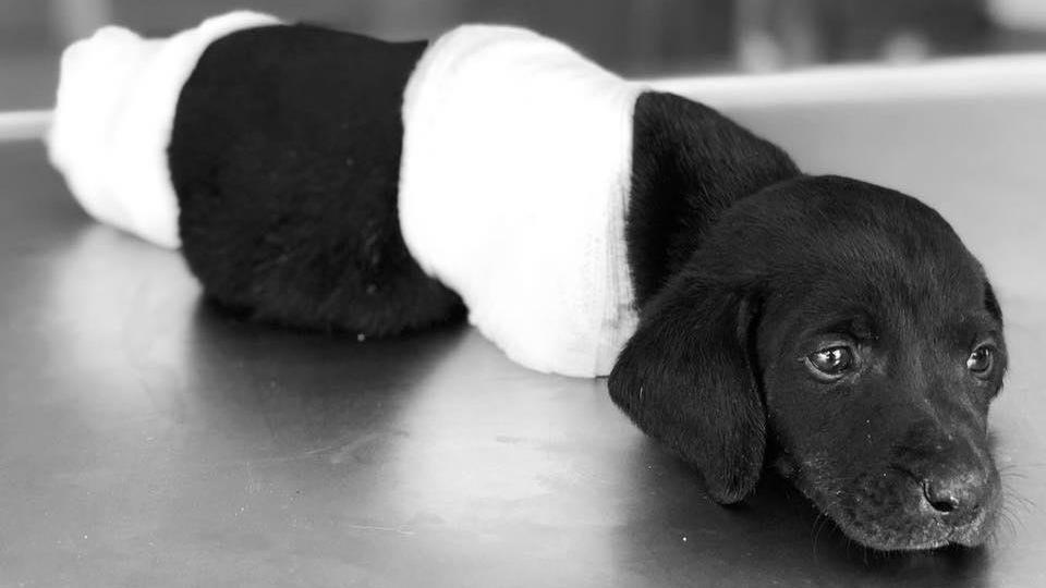 Türkiye'yi üzen yavru köpeğin ölümüyle ilgili soruşturmada flaş gelişme! Kasıt şüphesiyle tutuklandı...