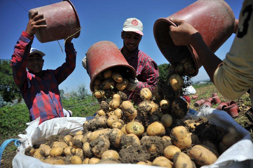 """Bursa'nın İnegöl İlçesi'nde patates hasadı başladı. Sözleşmeli ekim yapılan tarlalarda kilosu 63 kuruş, bireysel ekim yapılan tarlalarda ise 2 liradan işlem görüyor.İnegöl Ziraat Odası Başkanı Sezai Çelik, """"Patates pahalı diye çiftçimiz adına seviniyoruz"""" dedi."""