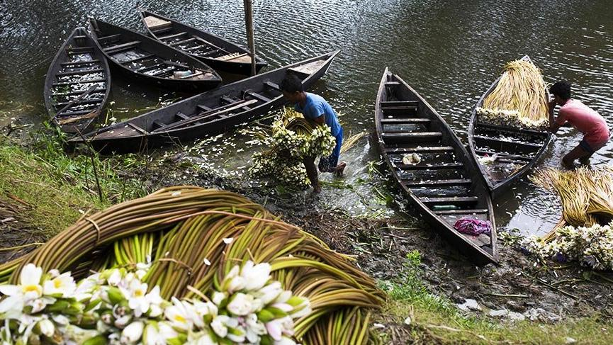 Bangladeş'in nilüfer toplayıcıları