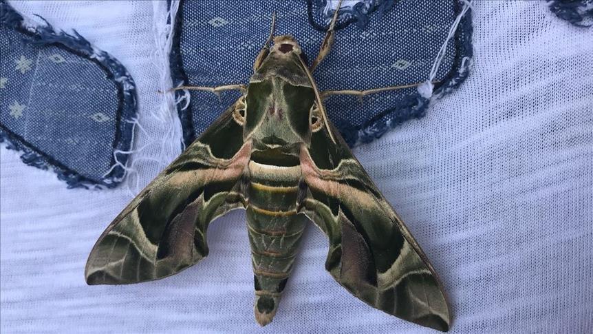 Askeri kamuflaj desenli 'mekik kelebeği' Bodrum'da görüntülendi
