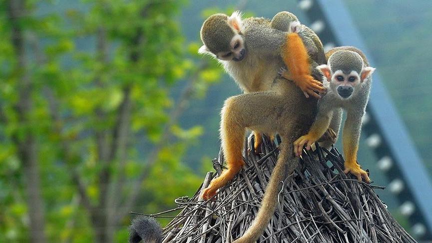 Tropik ormanlarda yaşayan en büyük beyinli maymun türü