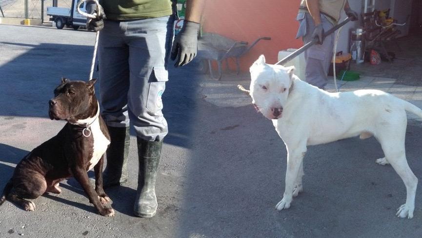 Pitbull ve dogo cinsi köpek besleyenlere 12 bin 600 lira ceza