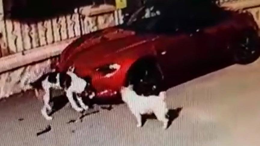 Sakarya'da sokak köpekleri 150 bin TL'lik arabayı yedi