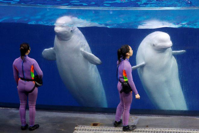 Beluga cinsi balinaların doğal yaşam alanı Kuzey Kutbu olarak biliniyor.