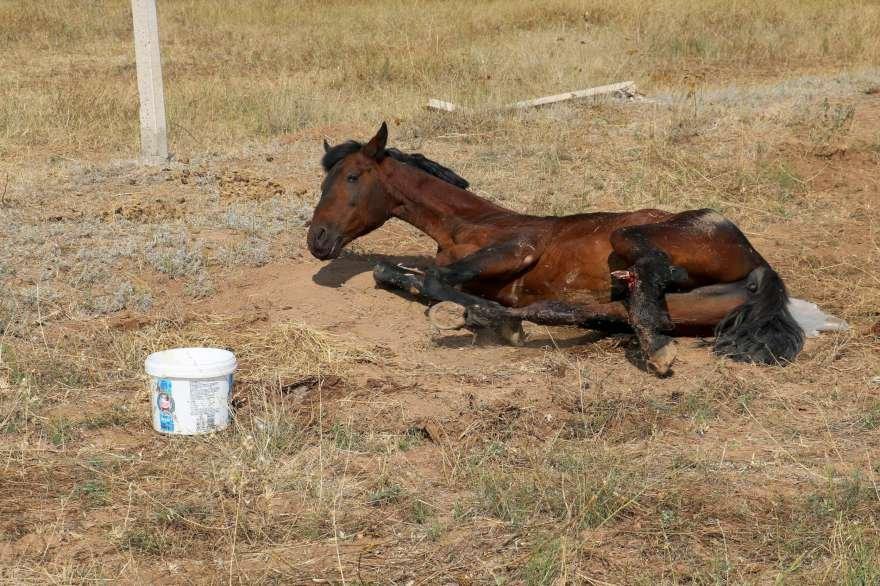 20 gün boyunca güneş altında acı çeken at gençlerin ısrarları sonucunda belediye tarafından hayvan barınağına götürüldü. Foto: İHA
