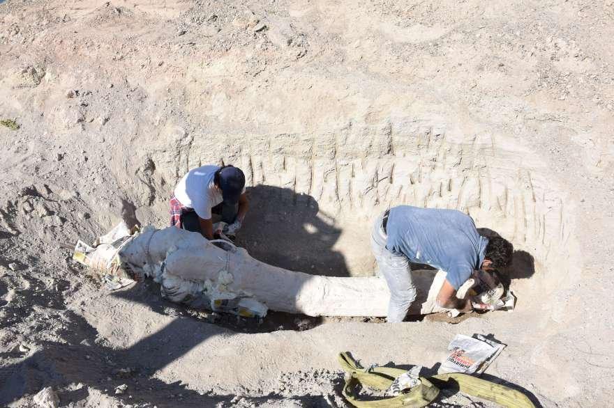 Çoban tarafından tesadüfen bulunan fosil müzeye taşınması için özenle hazırlandı Foto: AA
