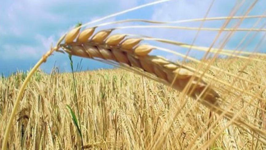TMO tonlarca buğday alımı için bir dizi uluslararası ihale açtı