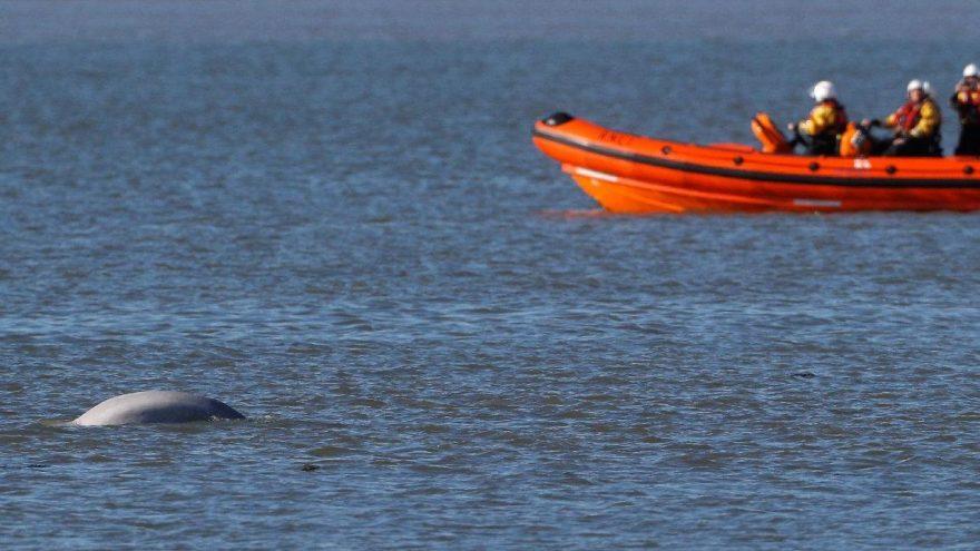 Kimse gözlerine inanamadı… Nehirde balina şaşkınlığı