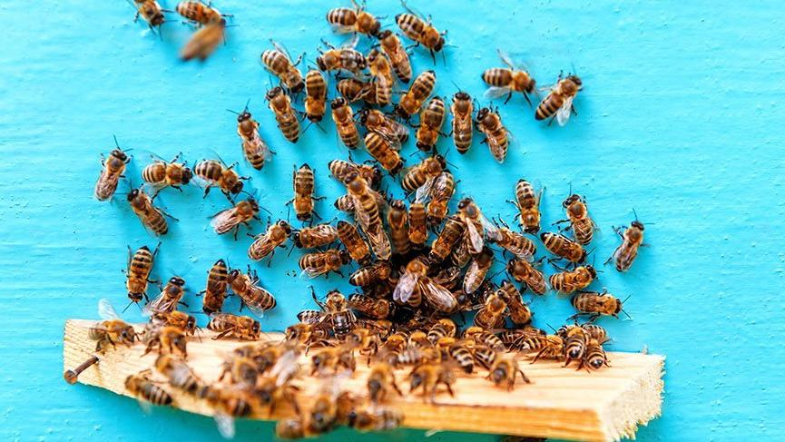 Arı sokması alerjisi nedir? İşte arı sokması belirtileri ve tedavi yöntemi…