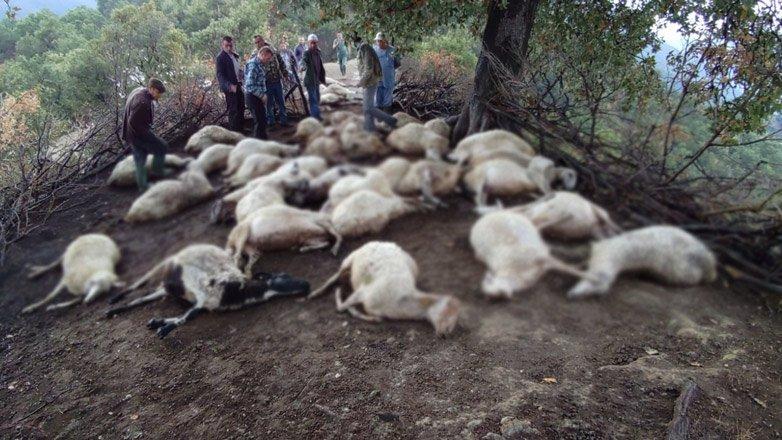 Aydın'da 39 küçükbaş hayvan yıldırım düşmesi nedeniyle telef oldu