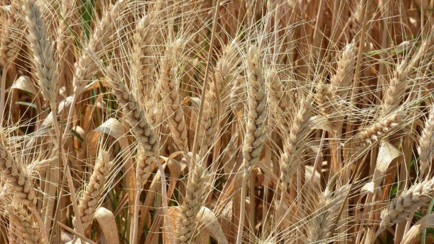 TMO 252 bin ton buğday aldı