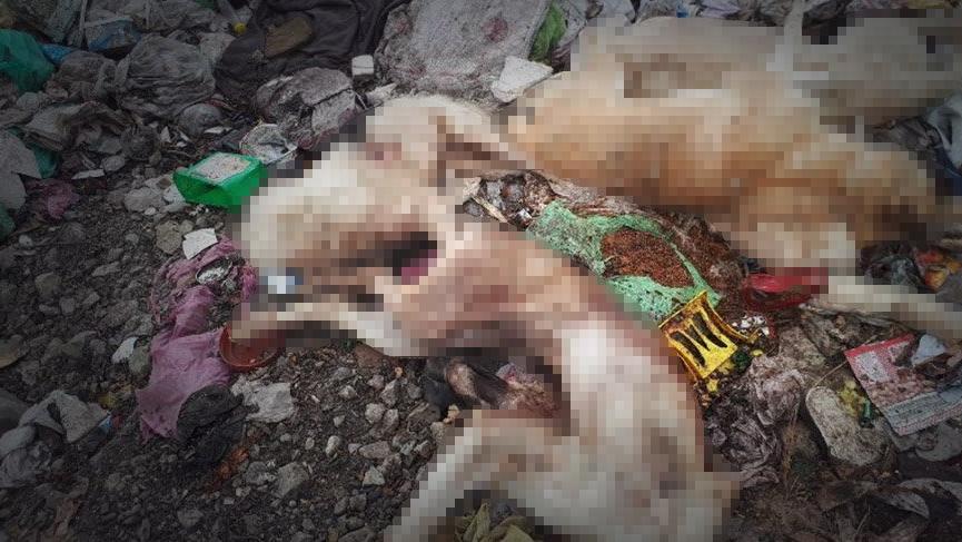 Çorum'da vahşet! Çöp depolama alanında 8 köpek silahla vurulmuş halde bulundu