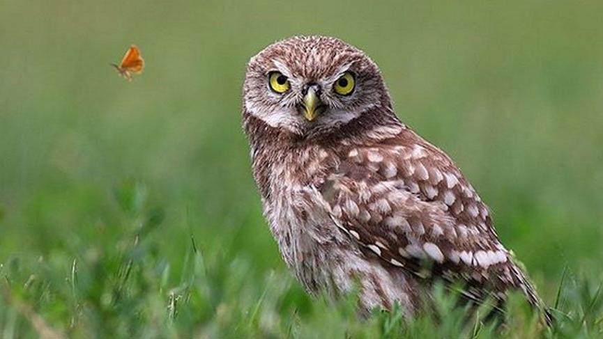 8 Eylül Hadi İpucu: Kukumav kuşu hangi kuş türüdür?