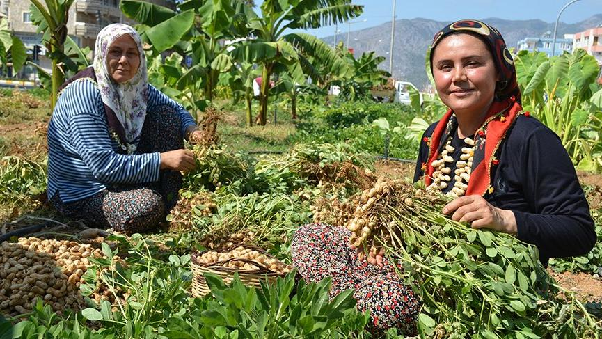 Mersin'de refüjde fıstık hasadı