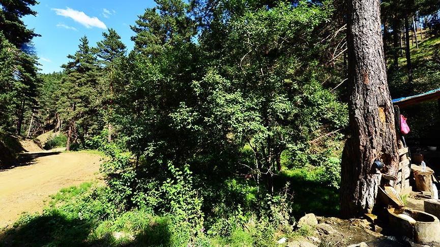 İç Anadolu Bölgesi'nin tek blok ormanı