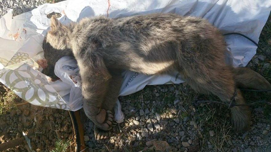 Vurduğu boz ayı yavrusunu yolda sürükledi