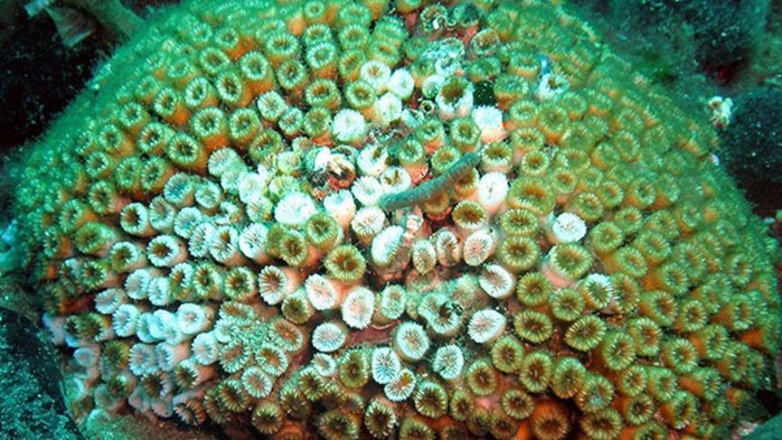 Beyazlaşmaya başladılar: Akdeniz'deki taş mercan kolonilerinde ölüm tehlikesi
