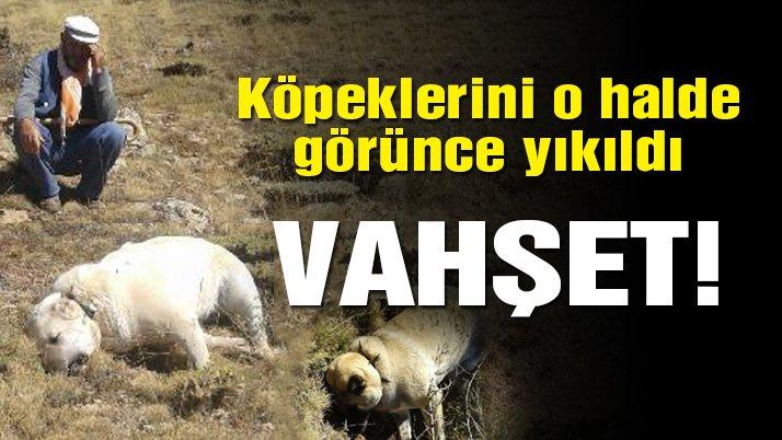 Zehirli et verilen 6 çoban köpeği öldü