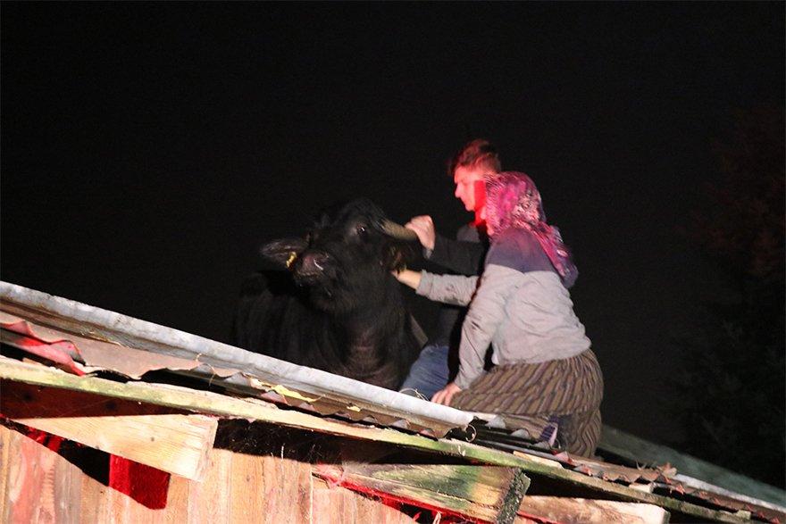 FOTO: İHA - Bolu'da, bir evin bahçesinde bulunan deponun çatısına çıkan manda vinç yardımıyla kurtarıldı. Demiroğlu'nun kızı ve torunu da bu esnada çatıya çıkarak, yere düşmemesi için mandayı halatla bağladı.