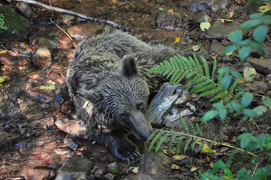 Rahatsızlanan ayı köylüler tarafından kurtarıldı. DHA