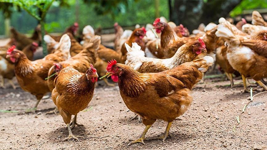 İran'da tavuk ve yumurta üretimi durma noktasında