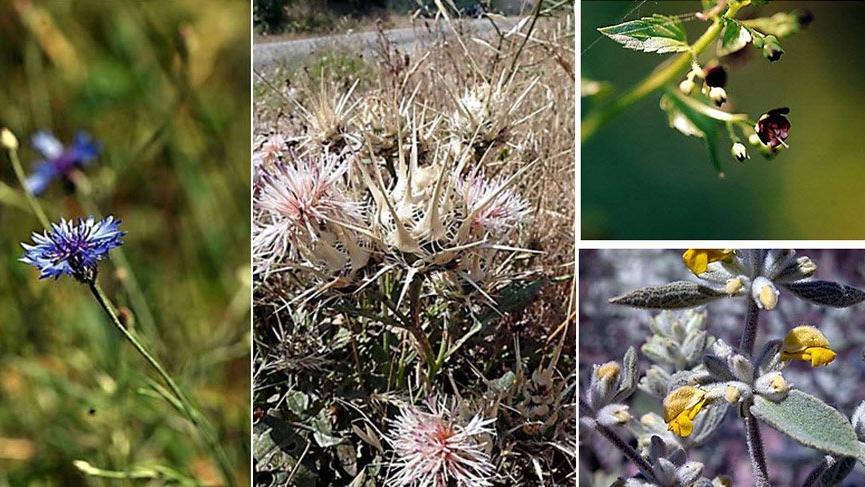 Sadece Türkiye'de yetişiyor: Sıtmaya iyi gelen 4 bitki türü tespit edildi
