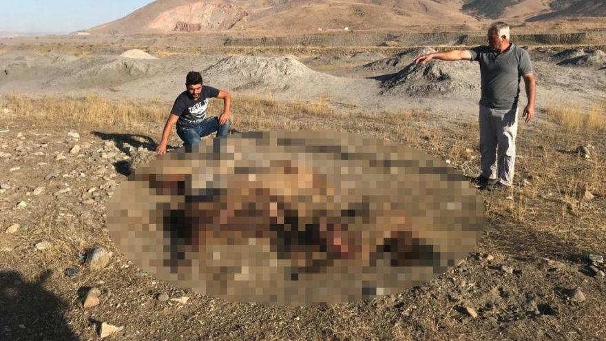Sokak köpekleri sürüye saldırdı, 30 koyun telef oldu