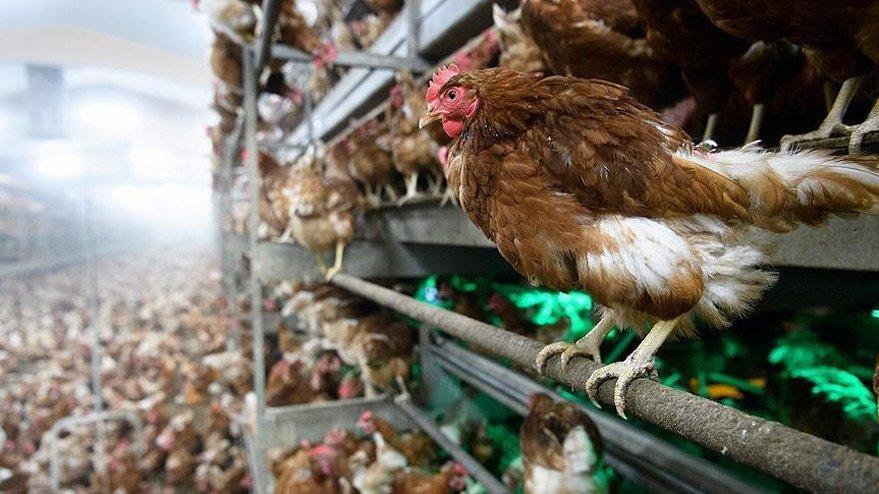 Mısır'da şehir içinde kanatlı hayvan kesim ve satışı yasaklanıyor