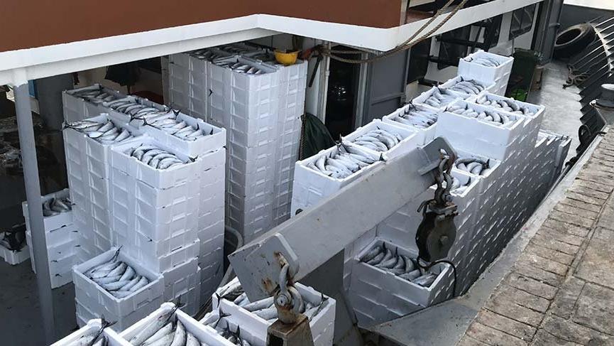 Karadeniz'den fışkırıyor: Her gün 30 ton palamut!