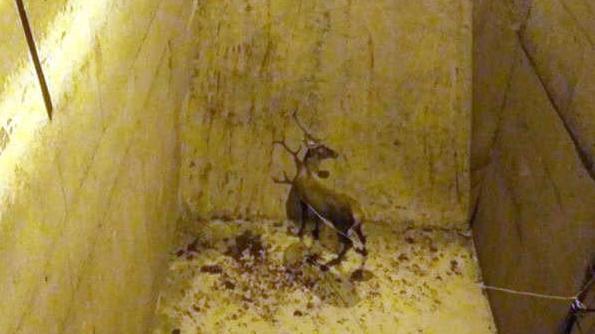 Hidroelektrik santralinin yükleme havuzuna düşen kızıl geyik vinçle çıkarıldı