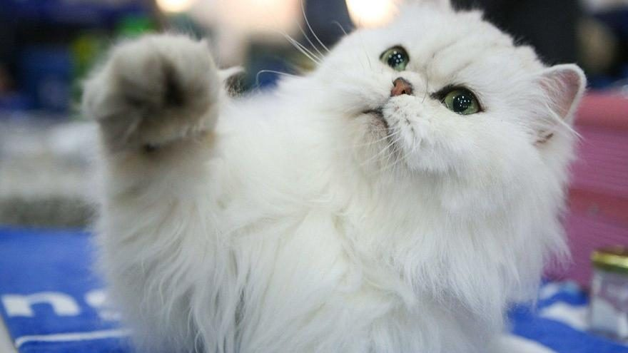 Herkes bu şişman kediyi konuşuyor! Kilo verdi olay oldu