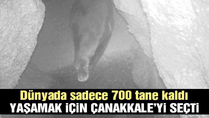 Akdeniz Fokları artık Marmaralı