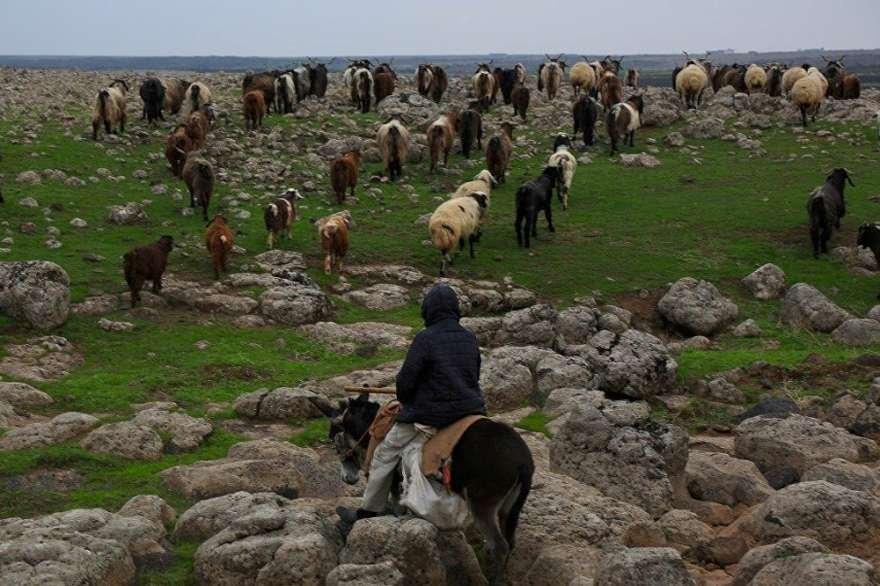 Asıl mesleği çobanlık olan Arslan zamanının çoğunu dağlarda hayvanları ile birlikte geçiriyor. Foto Sputnik
