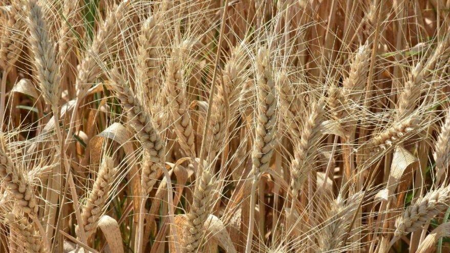 Hadi ipucu sorusu: Kaynatılıp kuruduktan ve kabuğu çıkarıldıktan sonra kırılan buğdaya ne denir? (2 Kasım 12:30 yarışması)