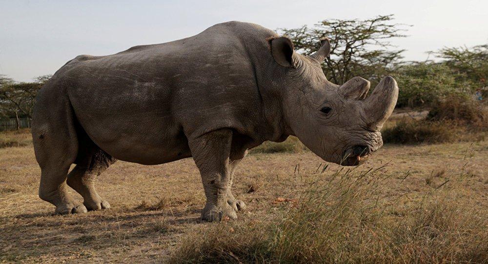 Dünyanın son kuzey beyaz gergedanı yaşamını yitirdi. Sudan ismi verilen gergedan 45 yaşındaydı.