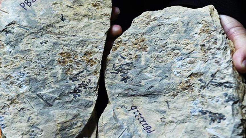 Dünyanın en eski çiçek fosili bulundu